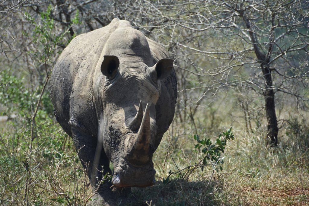 Rinoceronti al Kruger