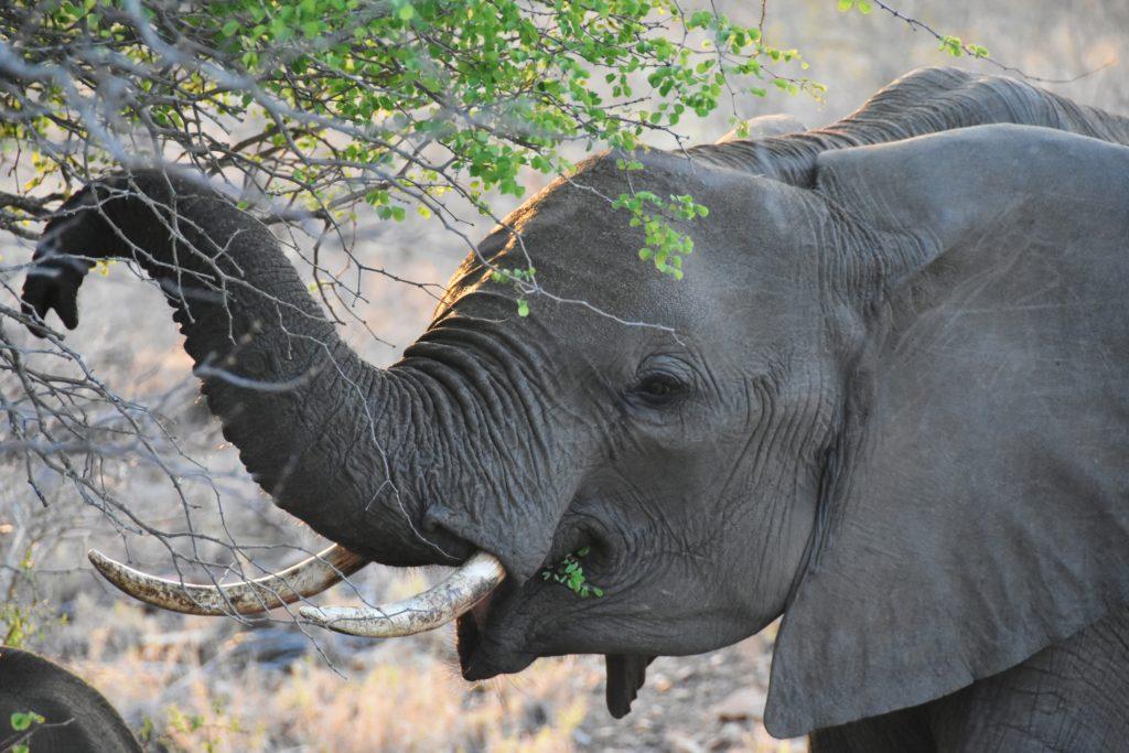 L'elefante, uno dei Big Five