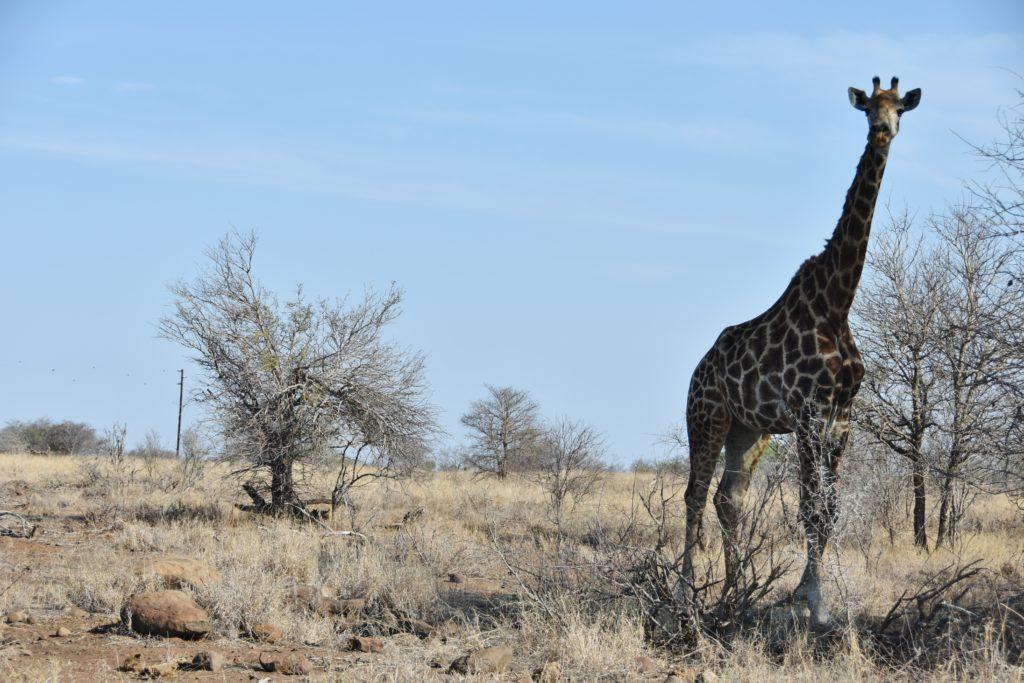 Giraffe al Kruger