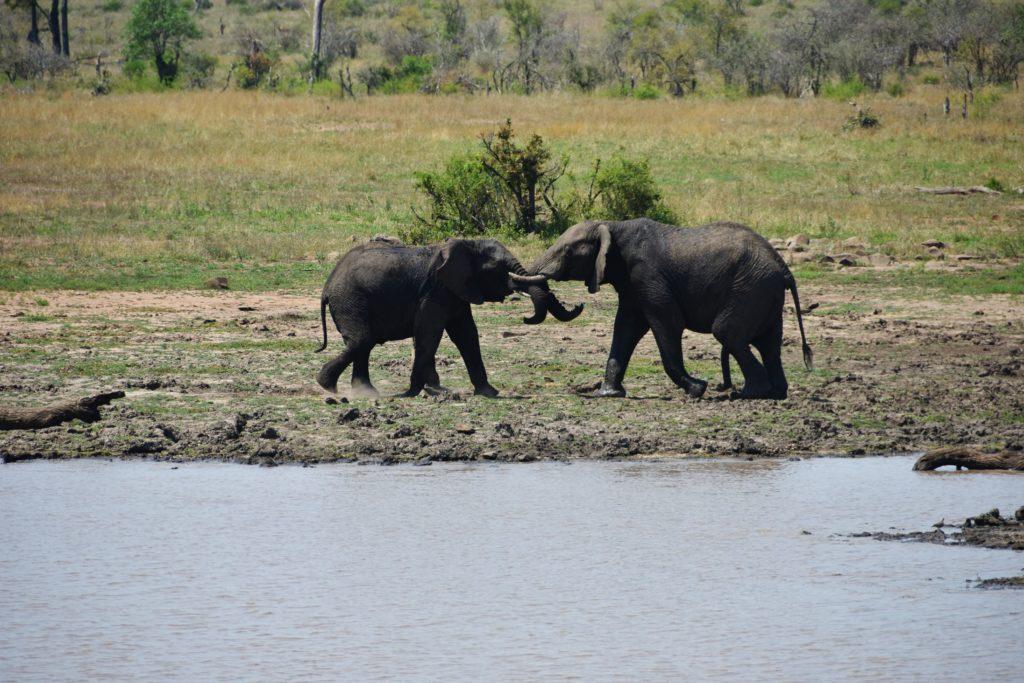 Elefanti in lotta al Kruger