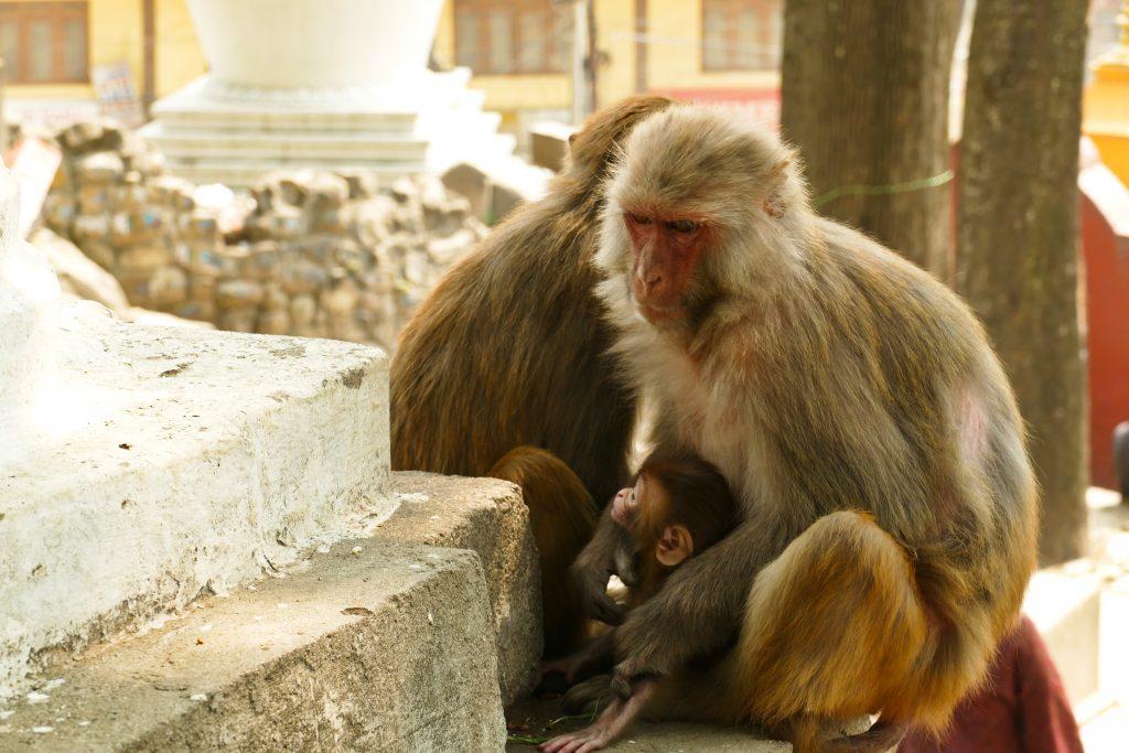 Scimmie a Swyambhnunath