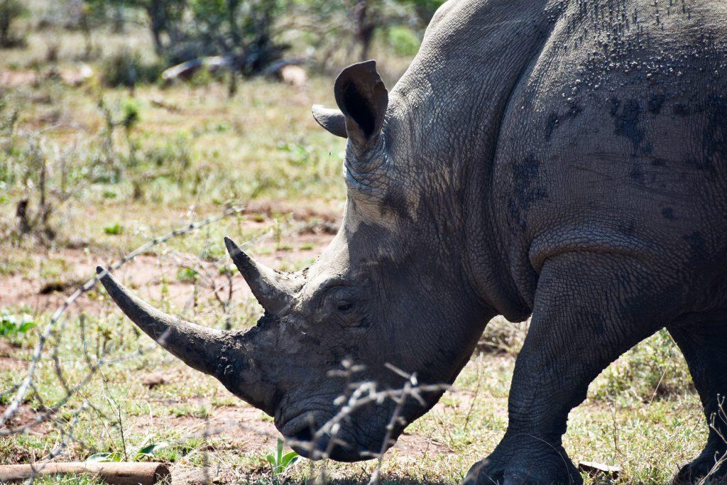 Rinoceronte all'Hulhluwe-Imfolozi