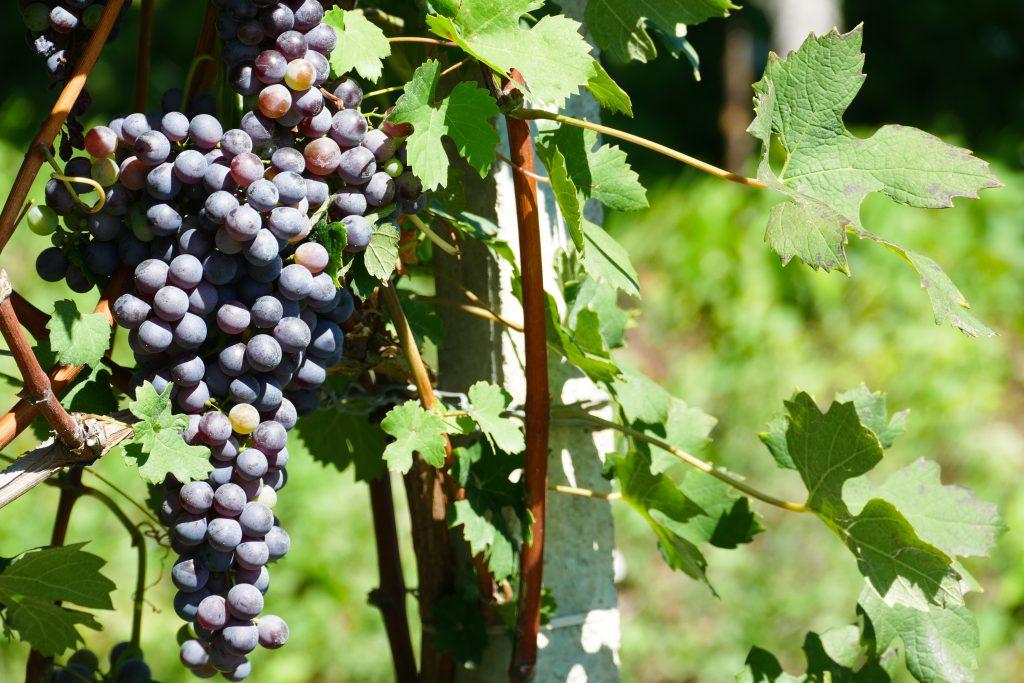 L'uva di nebbiolo pronta per la raccolta