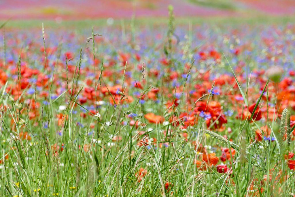 I piccoli fiori della lenticchia